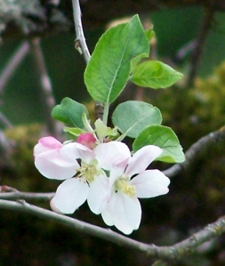 Apple Blossom 3 LM042015